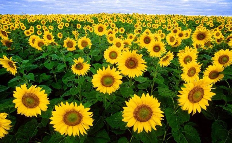 Sunflower field tour in Saraburi