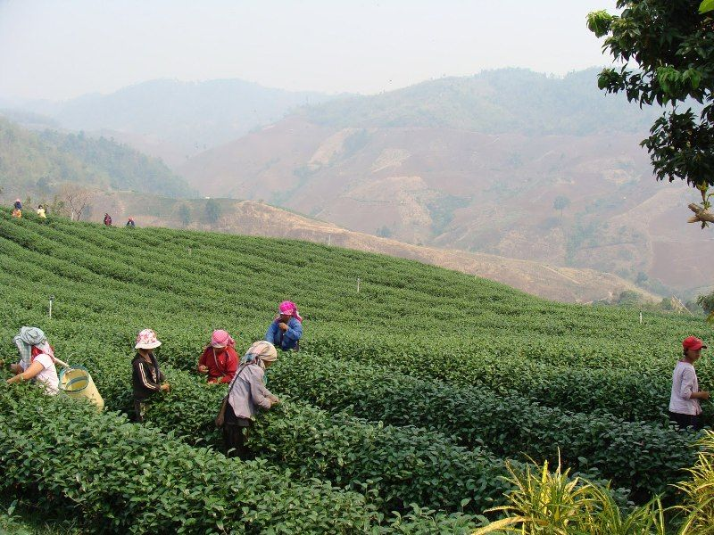 Singha park tea plantation : Plucked by gentle hands to get a premium tea