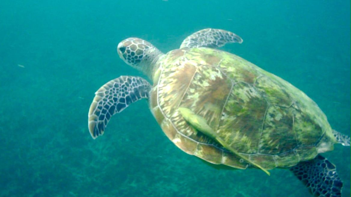 A Sea Turtle comes to greet