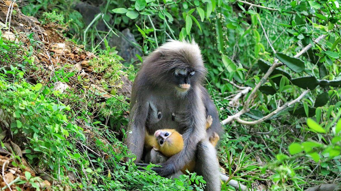 Dusky lungur and her baby.