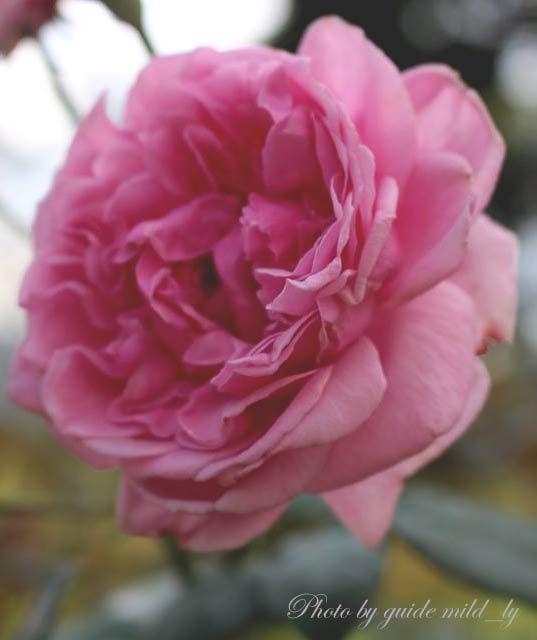 Bishop rose