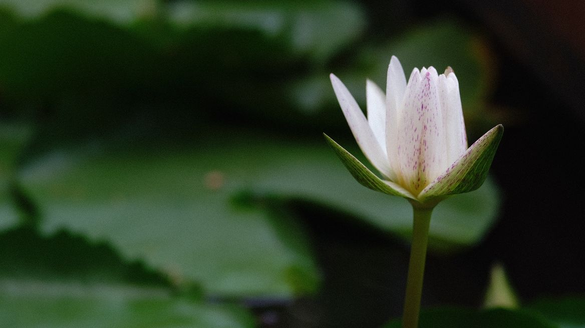 Lotus, the flower of the nation, not just the flower!