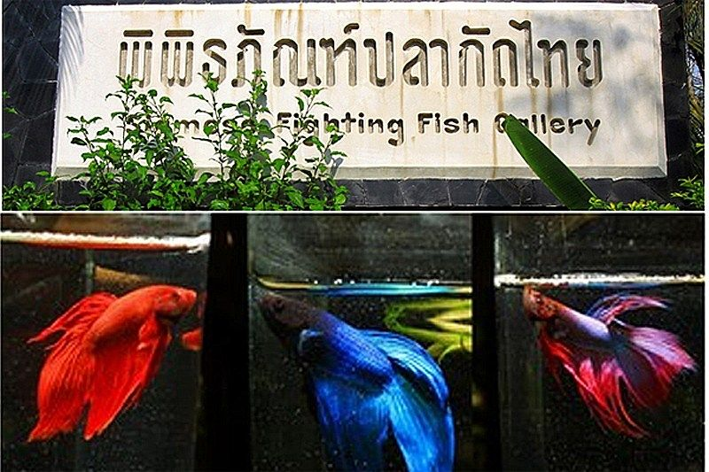 Siamese Fighting Fish Gallery