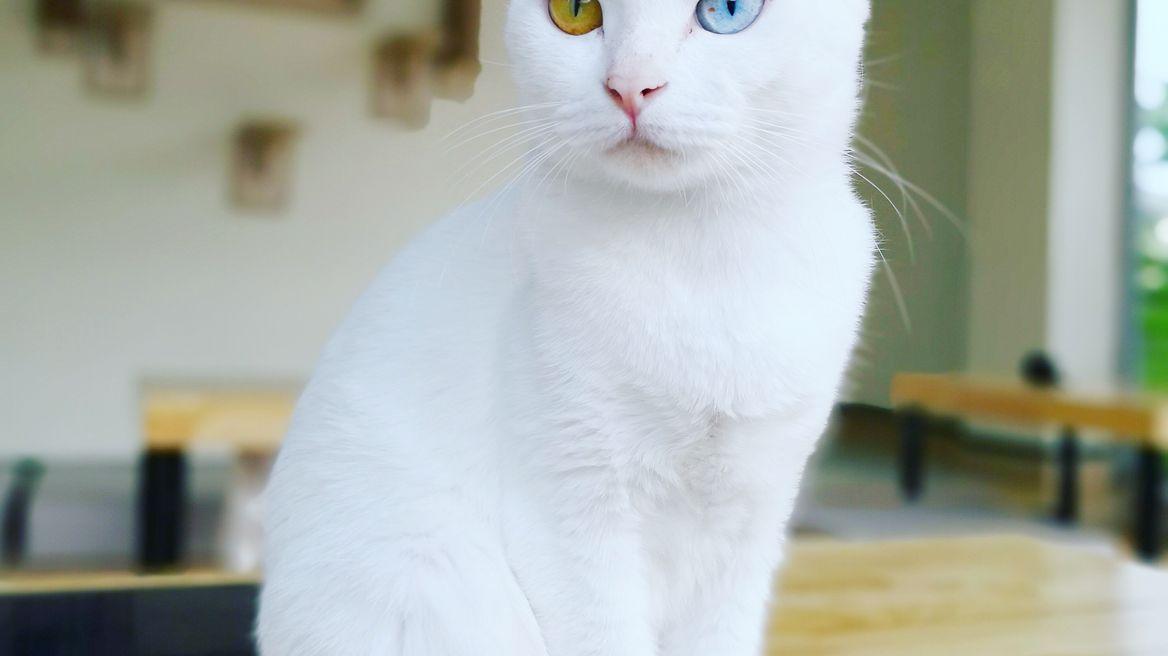 Thai cats