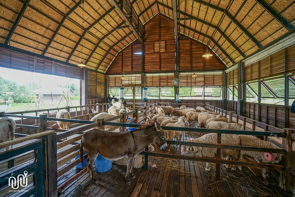 Sheep feeding in Khao Yai