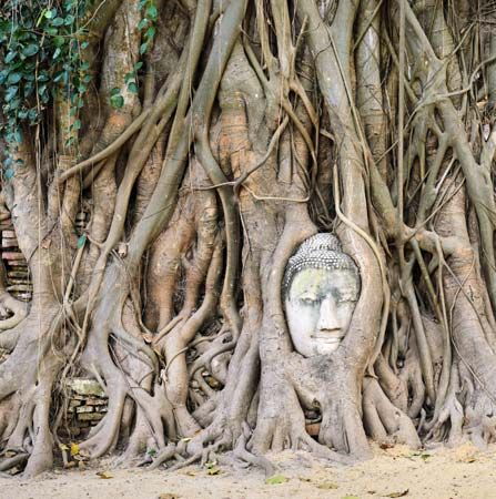 Buddha entwined within the roots of a banyan tree