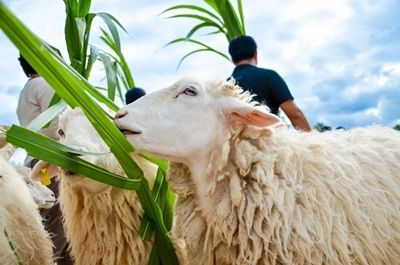 feed the sheep at Suan Phueng in Ratchaburi
