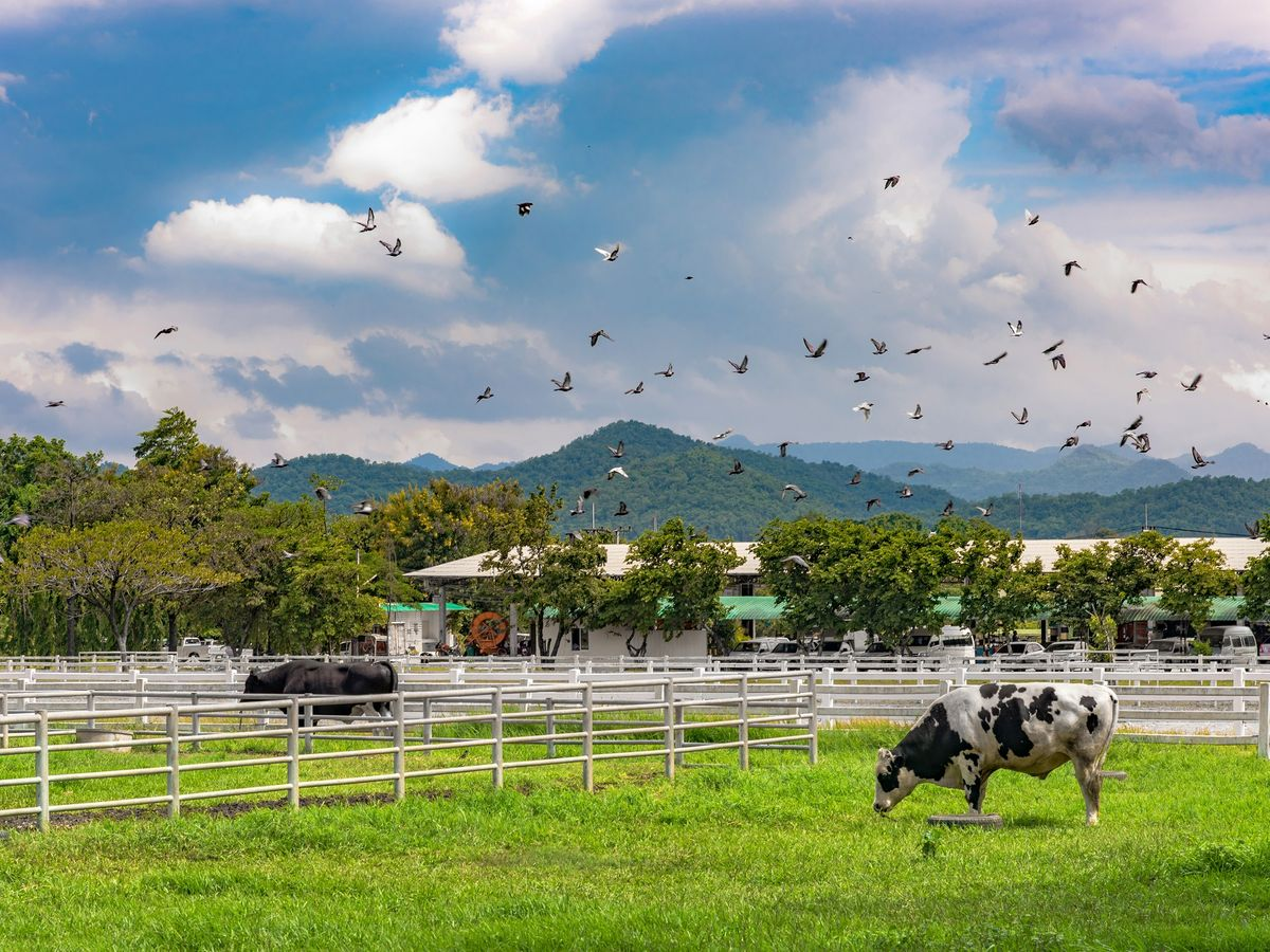Cows wandering about in Chokchai Farm.