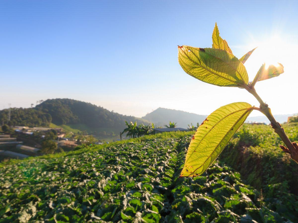 Cabbage farm, Mon Jam, Chiang Mai, Thailand