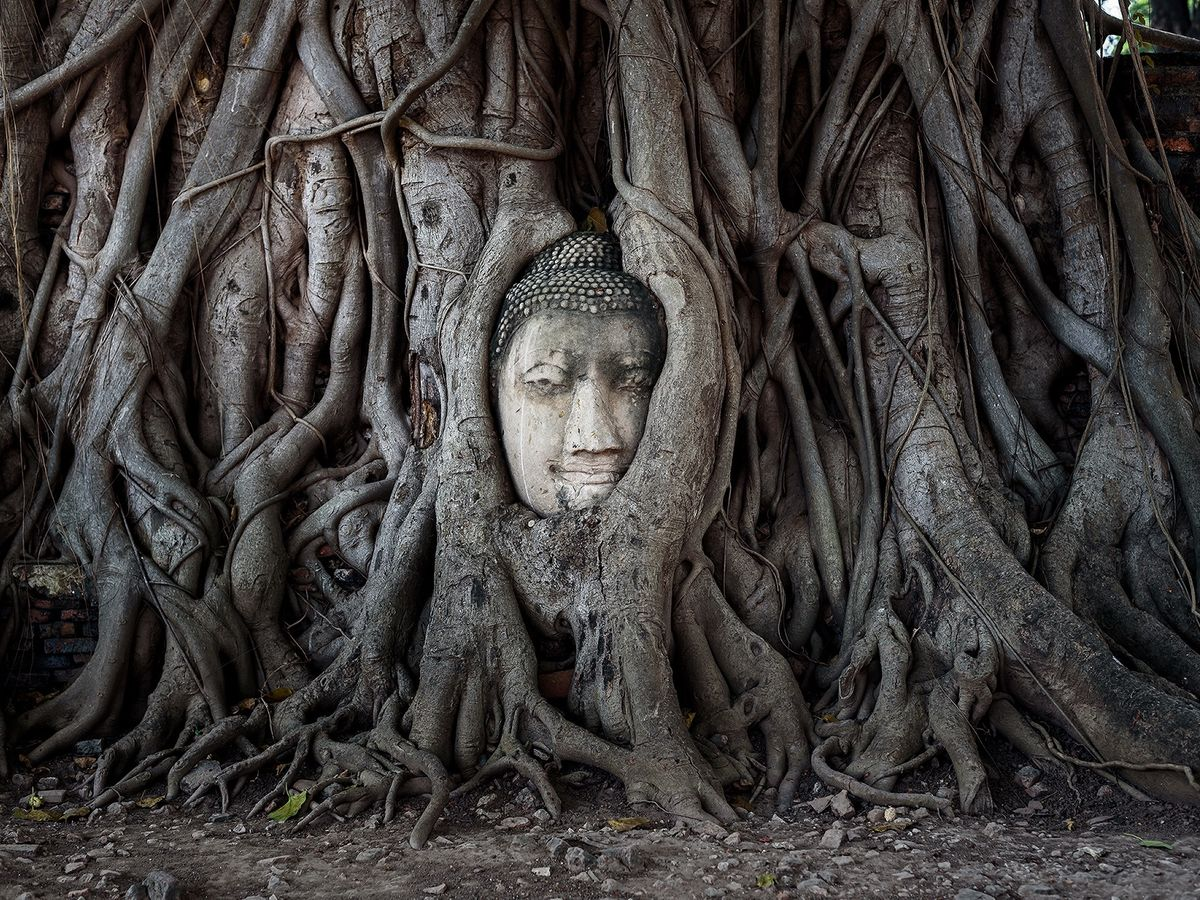 Head of a Buddha image encased in the roots of a Bodhi tree in Wat Mahathat, Ayutthaya, Thailand.